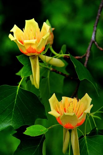 Tulip Poplar Tree.   I saw this tree when I went to Blarney Castle while on vaca...