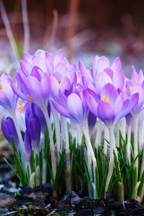 spring crocus....