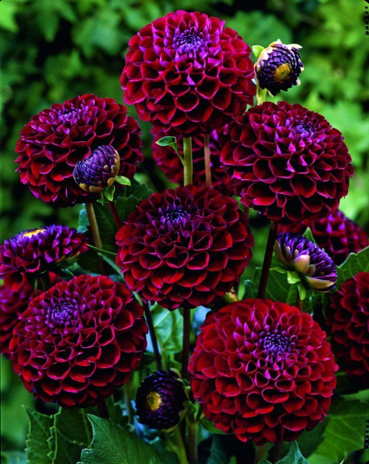 These beautiful spiky flowers originate from Mexico and are tuberous-rooted pere...