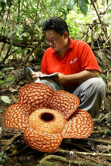 Stock Illustration of Rafflesia the hugest and smelly flower in the World  csp5073719 - Search Vector Clipart, …   Flower drawing, Illustration,  Forest illustration