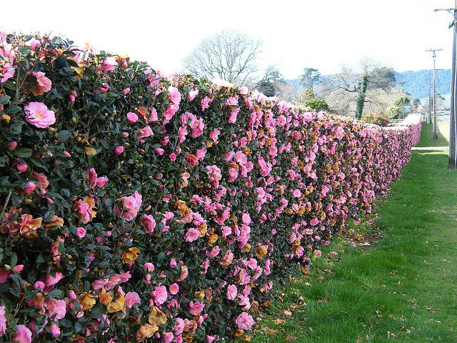 Camelia Hedge... one of my favorites...roses without the work.