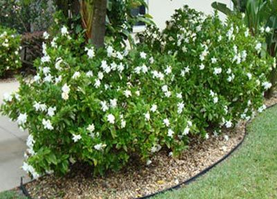 Flowers Drawings Inspiration Frost Proof Gardenia Northeast