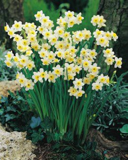 Minnow daffodil. 6 to 8 inches tall. #bulbs
