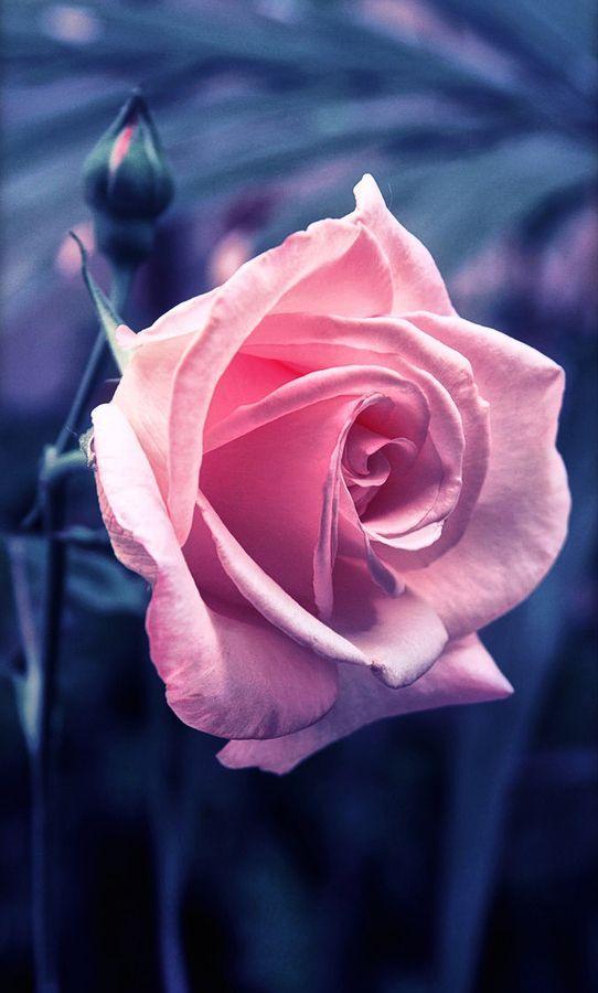 RoseWater Dream