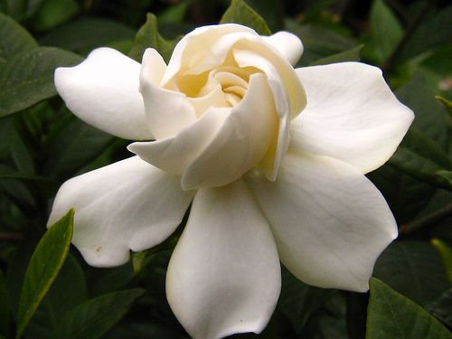 The Gardenia is the luscious, forever favorite for bridal bouquets.