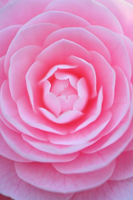 ~~Beauty | Camellia macro by *Sakura*~~