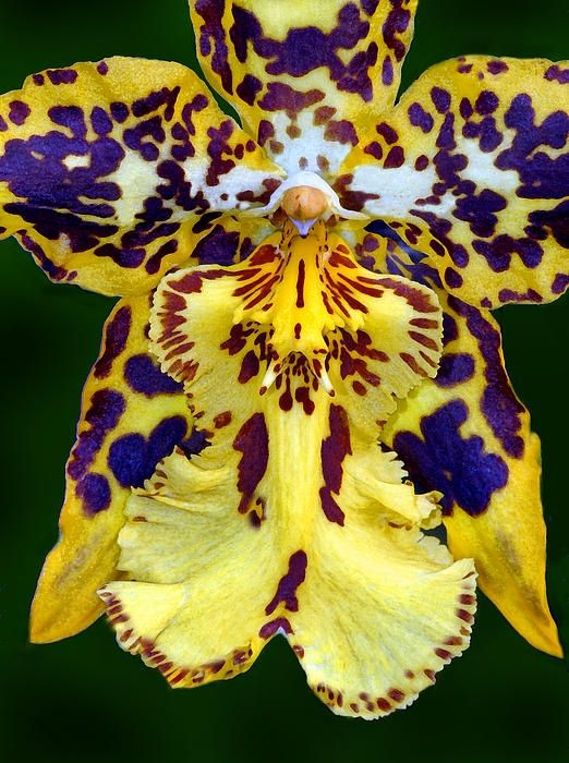 Exotic Orchids| Serafini Amelia| ~~ Yellow Orchid ~~