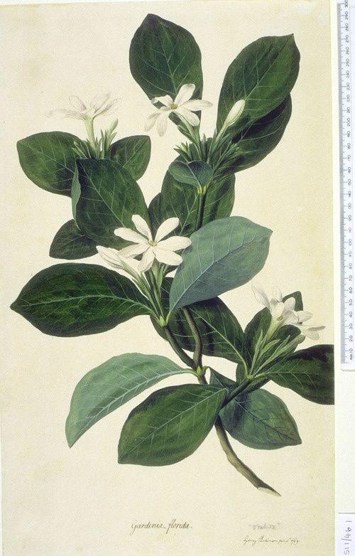 Gardenia-taitensis-aka-Tahitian-Gardenia-or-Tiare-Flower-botanical-print.jpg (50...