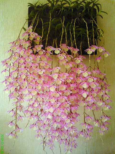 Orchid: Dendrobium pieradii - Flickr - Photo Sharing!