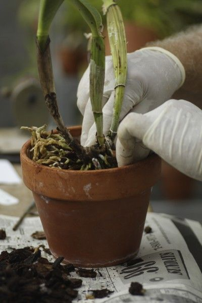 Orchid Repotting: When And How To Repot An Orchid Plant - Orchids are relatively...