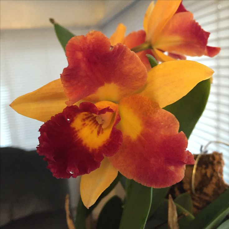 Ruyu Girl 'nn' orchid. This was originally registered as a Potinara (Bra...