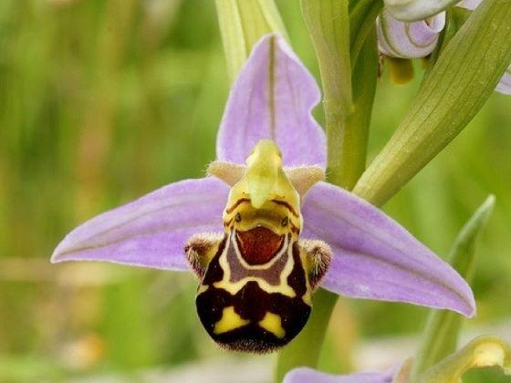 happy flower (bee orchid)a los aficionados a orquideas en Colombia le llaman orq...