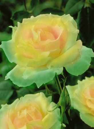 ♥  AHA  Her they are!!!   My 3 Yellow Roses - thank you my love for sending th...