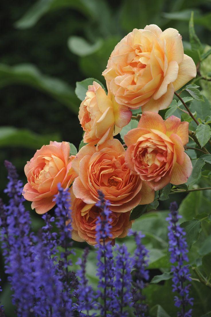 Lady of Shalott (Ausnyson) #DavidAustin #GardenRoses