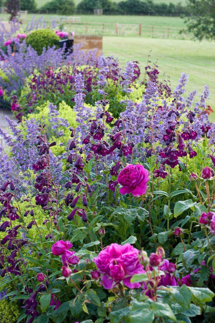 Penstamon, nepeta, roses and alchemilla mollis beautiful combinationa in Great T...