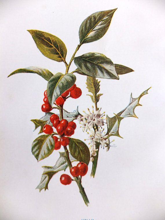 Holly - Vintage Flower Picture Christmas Decor - Vintage Botanical Print Origina...
