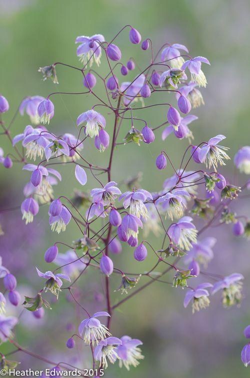 HTE60912 (Thalictrum delavayi) совсем незнакомое растени...