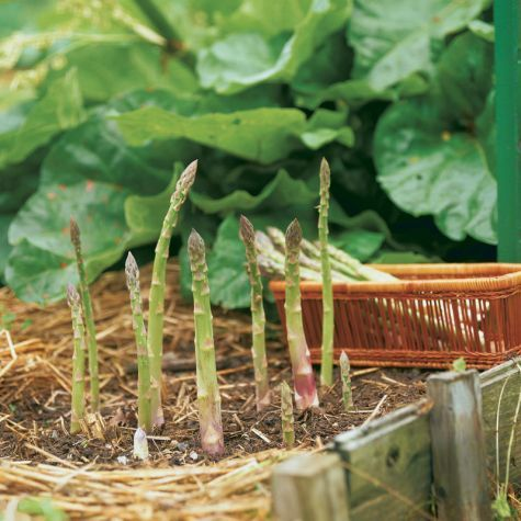 Asparagus - how to plant and manage.