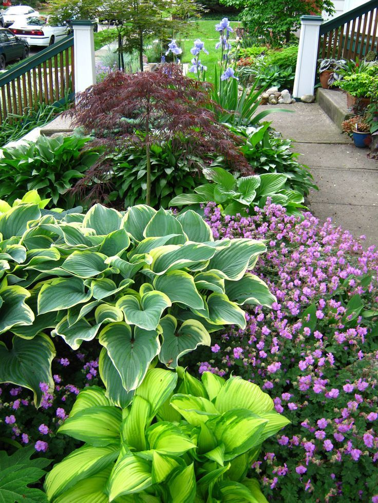 Beautiful border for filtered light, or partial shade. Hostas, Japanese maple an...