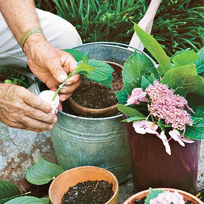 Root and Pass Along - Gardening 101: French Hydrangeas