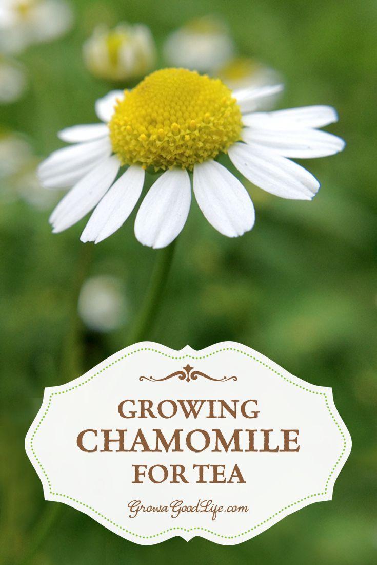 Growing Chamomile for Tea