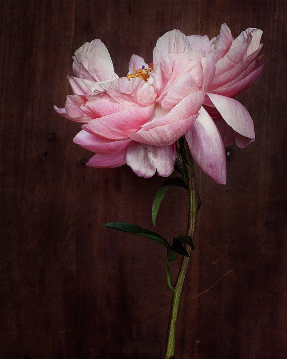 Pink peony photograph by Kari Herer
