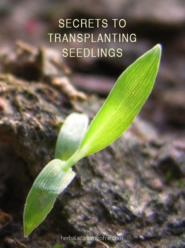 Secrets To Transplanting Seedlings: 3 Tips To Success
