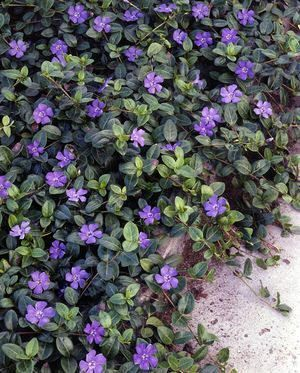 Vinca periwinkle was the only deer resistant, drought tolerant ground cover for ...
