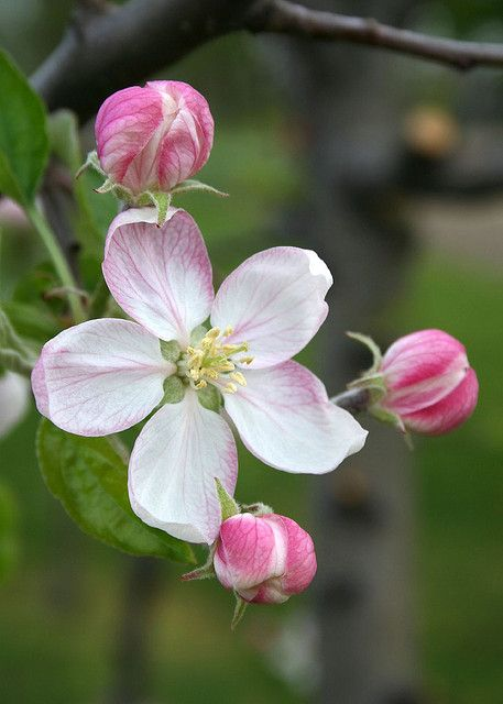 Apple Blossom Quartet