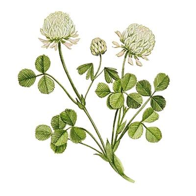 White clover -
