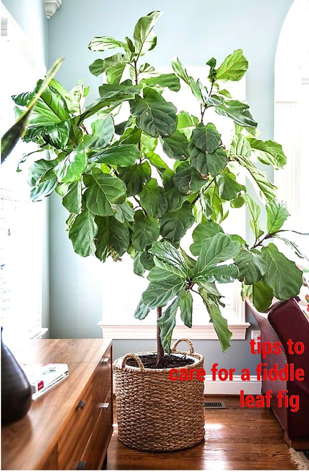 How I Care for My Fiddle Fig and Hello!
