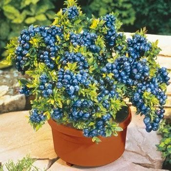 Who knew? Blueberries thrive in container gardens! It would be great to have fre...