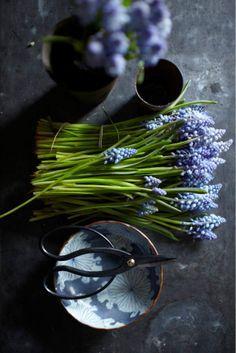grape hyacinths: Sarah Cave