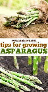 Tips for Growing Asparagus - SheSaved®