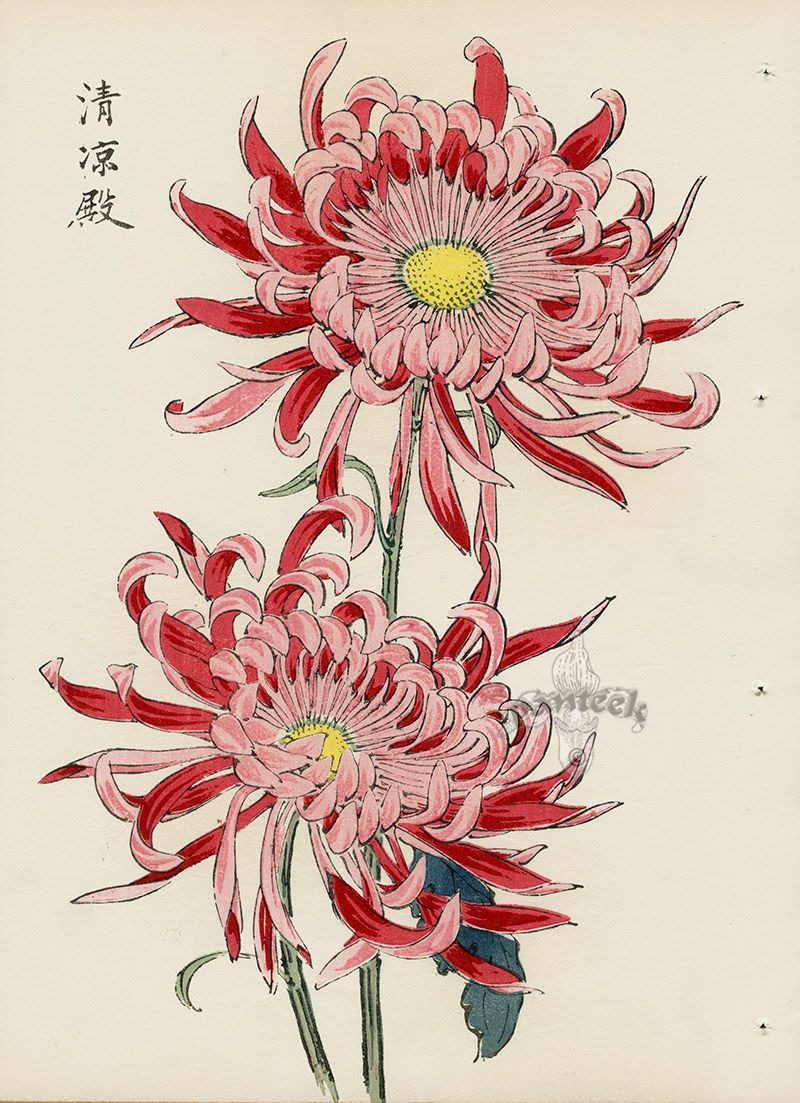 from Art of the Japanese Chrysanthemum