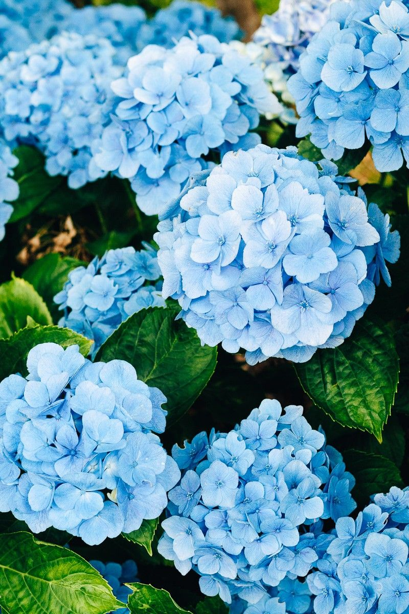 How to Care for Hydrangeas [5 Things You Might Not Know]