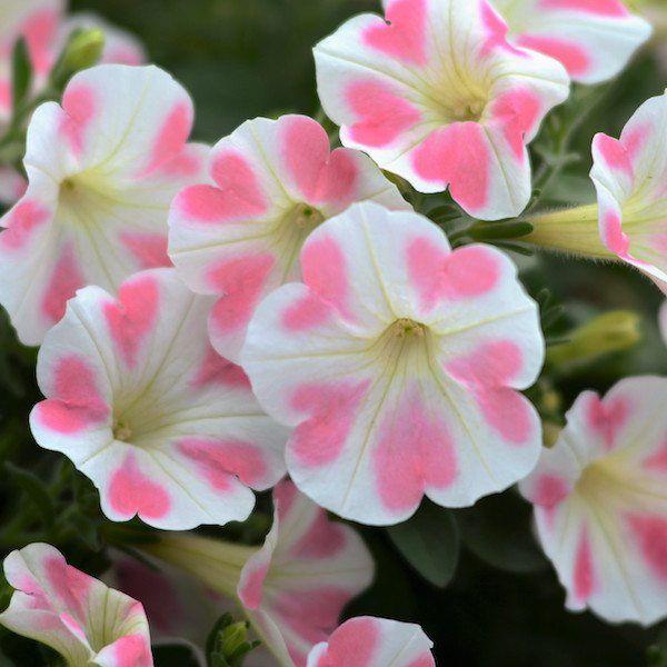 Petunia 'Surfinia Heartbeat' - Greenhouse Product News
