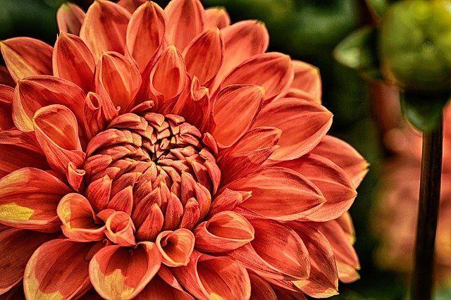 Free Image on Pixabay - Dahlia, Plant, Flower, Blossom