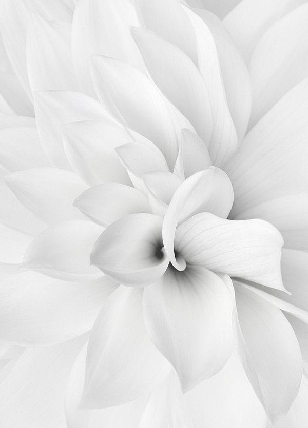 fleure blanche pétales