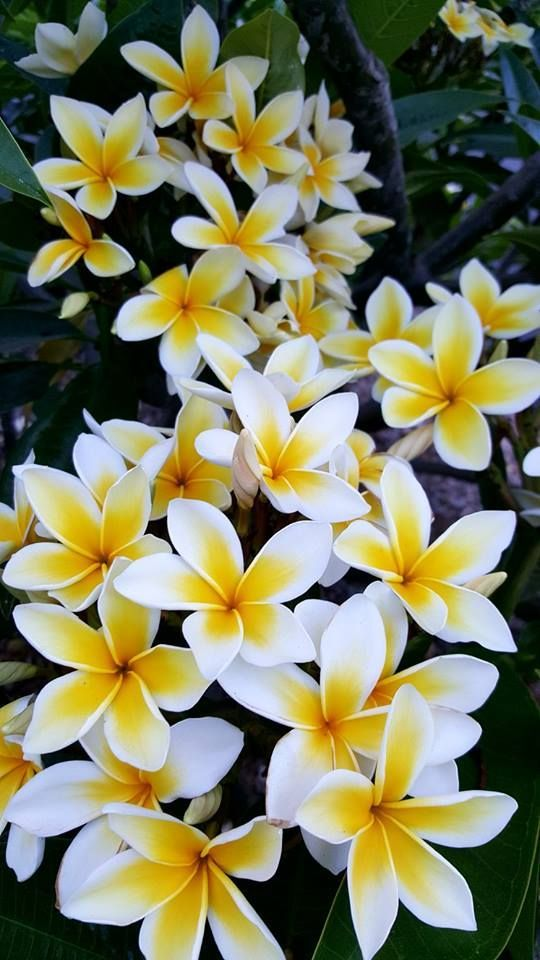 Plumeria rubra 'Celadine'. Potted or cutting. EU delivery - Easy flowers