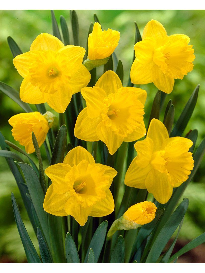 Trumpet Daffodil Bulbs Dutch Master, Set of 8