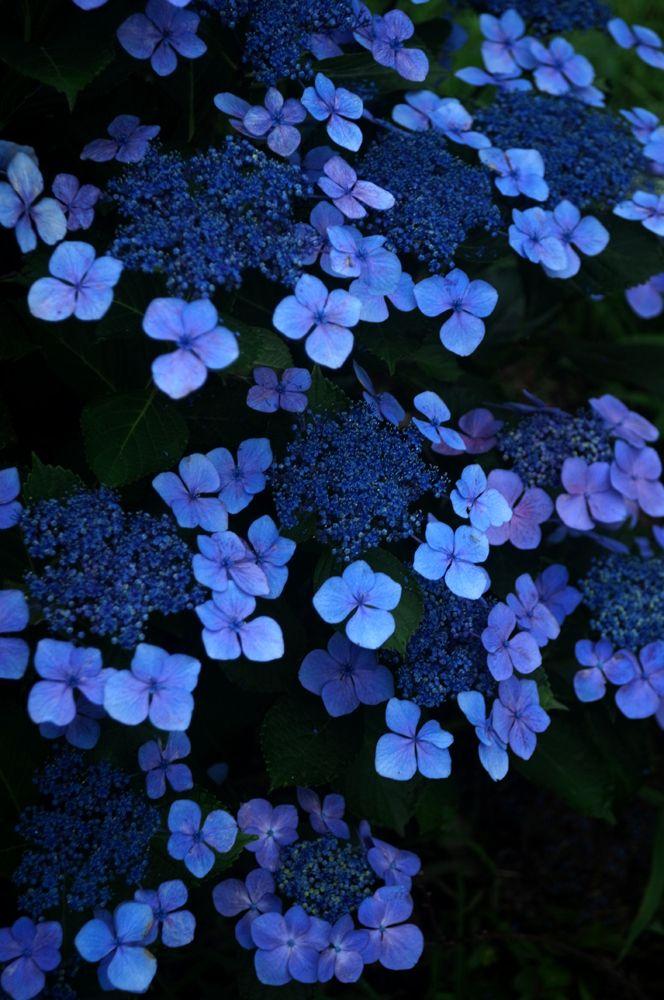 紫陽花 by syuuhei (ID:1914082)- 写真共有サイト:PHOTOHITO