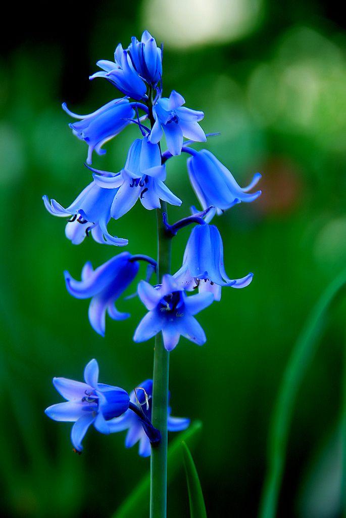 Blue bells. #flowers