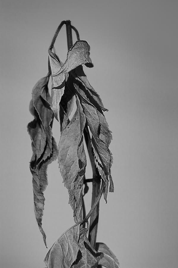 Dead flower by Yann Poirier