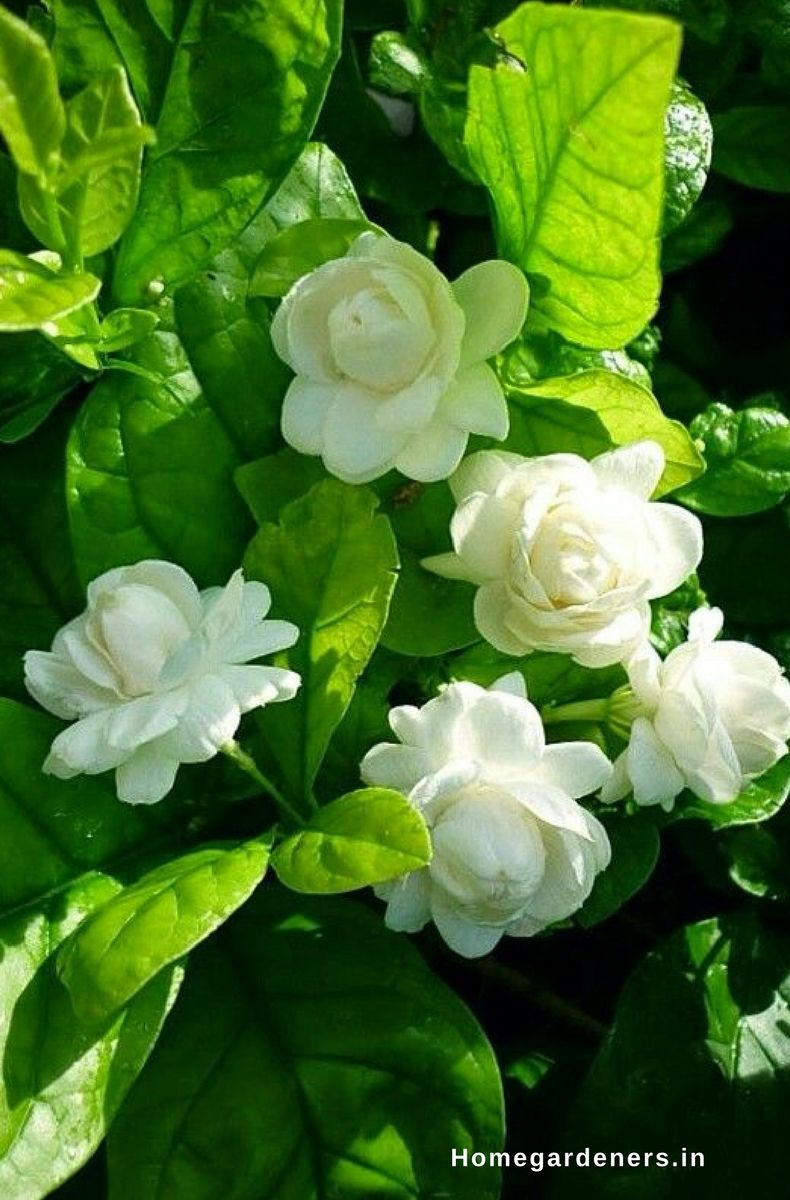 How to Grow and Care for Jasmine Plant? - Home Gardeners