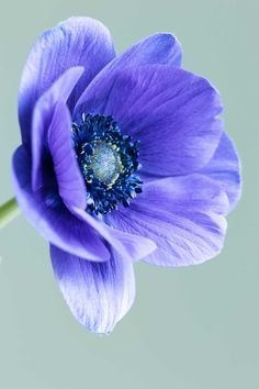 Photographing blue anemones: looking forward to spring - Cloverhome