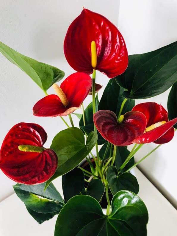 Anthurium (Flamingo Flower / Painter's Palette) Guide
