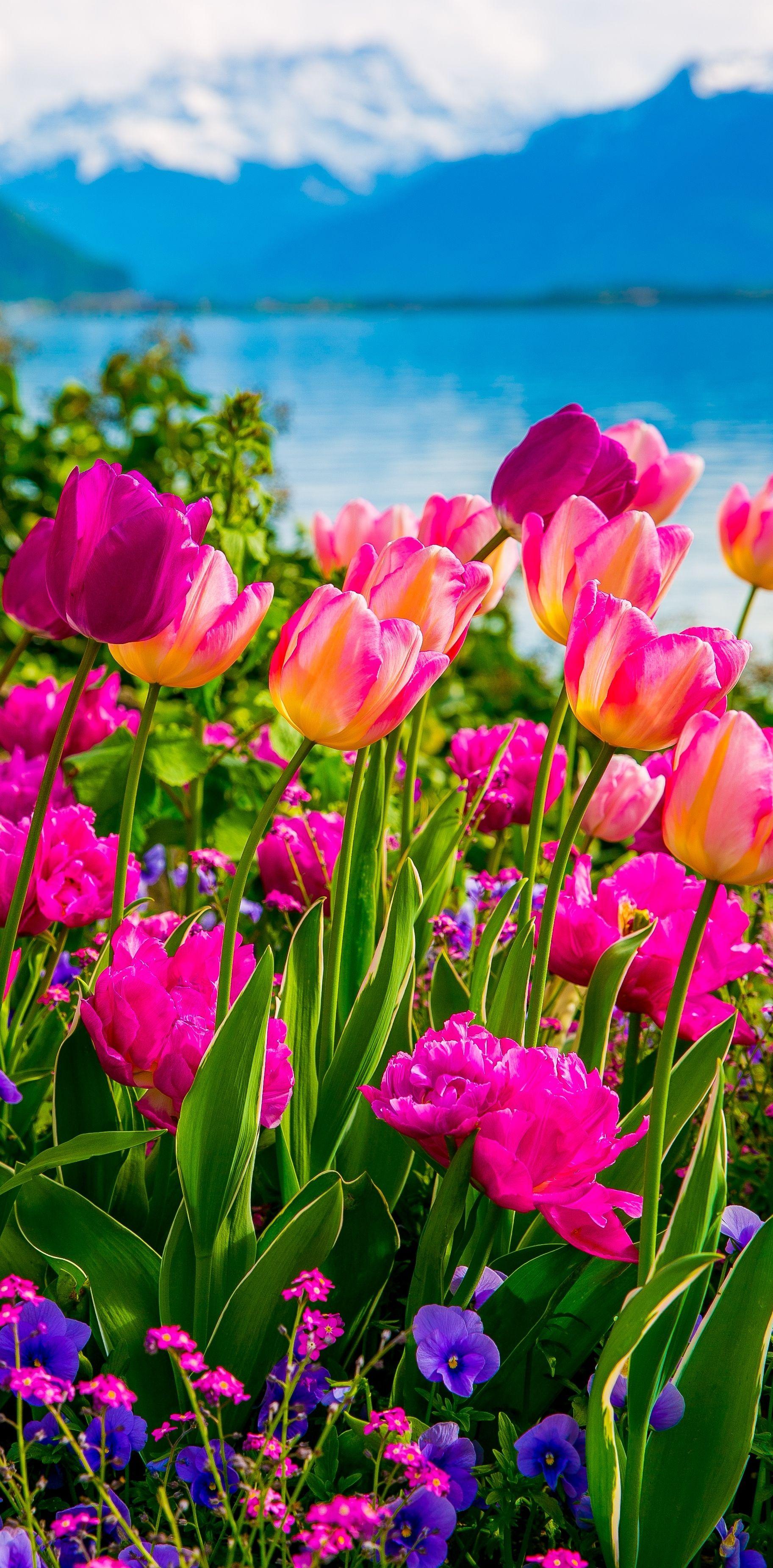 Tulips of Switzerland - Julia's Album