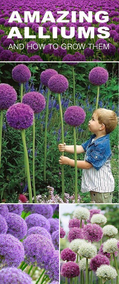 How to Grow Amazing Alliums • The Garden Glove